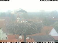 Storks Bornheim Germany Bornheim Germany - Webcams Abroad live images
